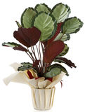 Ornamental Plant calatea. Ornamental Plants over white background Royalty Free Stock Photos