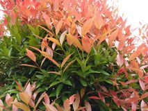Arnomental plant. This is an ornamental plant that can filter the air to be fresher Royalty Free Stock Photos