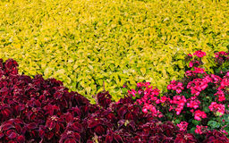 Ornamental plant coleus and begonias two colors in the flowerbed Stock Image