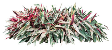 Ornamental plant Royalty Free Stock Image