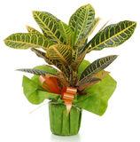 Ornamental Plant croton. Ornamental Plants over white background Royalty Free Stock Photography