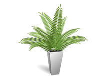 Ornamental plant. Fern in a pot. On a white background Stock Images