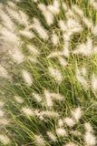 Ornamental plant fountain grass background stock image