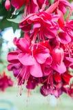 Ornamental plant Fuchsia. Pink flowers of ornamental plant Fuchsia royalty free stock image