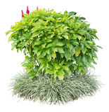 Ornamental plant Royalty Free Stock Images