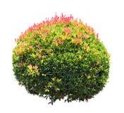 Ornamental Plant Royalty Free Stock Photography