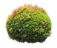 Ornamental Plant Stock Photography