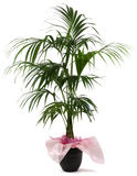 Ornamental Plant kentia. Ornamental Plants over white background Royalty Free Stock Images