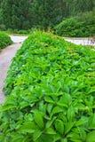 Ornamental plant parthenocissus  lat. Parthenocissus Stock Photography