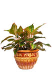 Ornamental plant in the pot Stock Photos