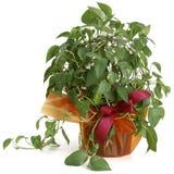 Ornamental Plant potos. Ornamental Plants over white background Stock Image