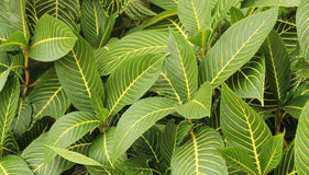 Ornamental plant striped leaves Royalty Free Stock Photo