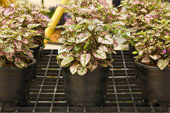 Ornamental plants. In plastic pots in the row Stock Photography