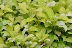 Ornamental plants. Beautiful-green-fresh Royalty Free Stock Photo