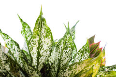 Ornamental plants with beautiful leaves and sacred wood.isolate background. Stock Photos