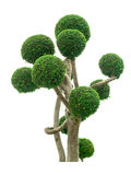 Ornamental plants. Beautiful Tree isolated with a white background Stock Image