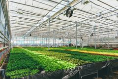 Ornamental plants and flowers grow for gardening in modern hydroponic greenhouse nursery or glasshouse, industrial horticulture. Cultivation of seedlings royalty free stock photos