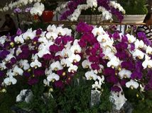 Ornamental plants, flowers for ornamental use at coffee shops royalty free stock photos