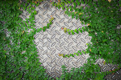 Ornamental plants or ivy or garden tree with old metal diamond plate or old checkered steel plate with rusty. Stock Photos