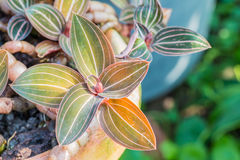 Ornamental plants, Jewel Orchid-Ludisia discolor. Ornamental plants, Jewel Orchid-Ludisia discolor, planted on clay pots, in the garden, in Thailand. Macro Royalty Free Stock Photos