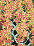 Ornamental plants in red pots Stock Photos