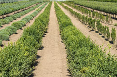 Ornamental plants in rows in a plant nursery Stock Photos