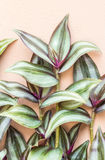 Ornamental plants, Silver Inch plant, Wandering jew (Tradescanti Stock Images