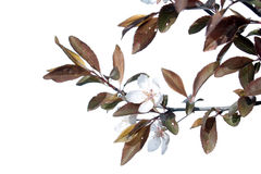 Ornamental plum branch with flowers isolated on white Royalty Free Stock Photo