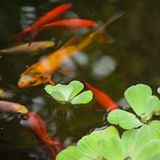 Ornamental pond Royalty Free Stock Photo