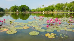 Ornamental pond in the park with Nymphaeas. Thailand, Sukhothai stock video