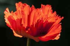 Ornamental Poppies Royalty Free Stock Images