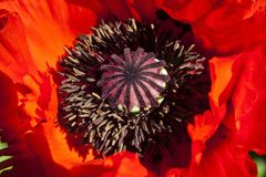 Ornamental Poppies Stock Photography