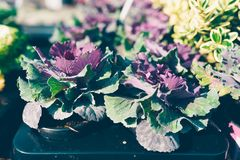 Ornamental Cabbage with purple leaves. Ornamental potted Cabbage with purple leaves, in a plants nursery- these kind of cabbage plants are sold to be planted in Royalty Free Stock Photos