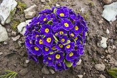 Ornamental primrose (Primula vulgaris) Stock Photos