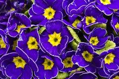 Ornamental primrose (Primula vulgaris) Royalty Free Stock Images