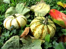 Ornamental pumpkins Royalty Free Stock Images