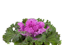 Ornamental Purple Kale or cabbage Royalty Free Stock Photography