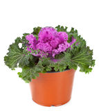Ornamental Purple Kale or cabbage Stock Images