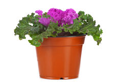 Ornamental Purple Kale or cabbage Royalty Free Stock Image