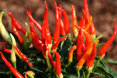 Ornamental Red Hot Peppers Stock Photo