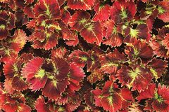 Ornamental Red Leaves Plants as Background. Ornamental Red Leaves Plants as Natural Background royalty free stock photos