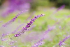 Ornamental sage purple flowers Stock Photo
