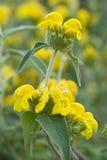 Ornamental sage yellow flowers Royalty Free Stock Photo