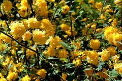 Ornamental shrub branches. Ornamental shrubs in gardens (Kerria japonica). Shrub with creeping stems, green branches, Trampolines yellow flowers. They should not royalty free stock photography