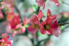 Ornamental shrub Chaenomeles japonica cultivar superba with beautiful light pink petals and yellow center. Branches full of flowers and buds royalty free stock photo