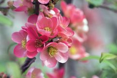 Ornamental shrub Chaenomeles japonica cultivar superba with beautiful light pink petals and yellow center. Branches full of flowers and buds stock photos