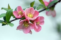 Ornamental shrub Chaenomeles japonica cultivar superba with beautiful light pink petals and yellow center. Branches full of flowers and buds royalty free stock image