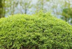 Ornamental shrub is green background foliage Stock Photography