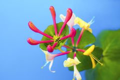 Ornamental shrub honeysuckle flower. Ornamental shrub honeysuckle flower on a blue background blooms in summer royalty free stock photo