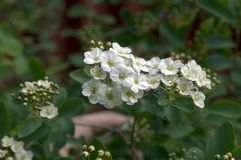 Ornamental shrub spiraea cantoniensis in bloom royalty free stock photography